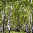 Birch forest landscape — Stock Photo