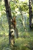 Rote Eichhörnchen — Stockfoto