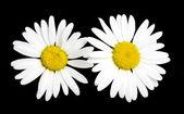 White daisy — Stockfoto