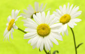 White daisy — Foto de Stock