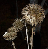 Bud of a thistle weed with prickly spikes — Stock Photo