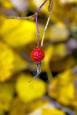 Red berries — Stockfoto