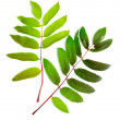 Leaf of mountain ash — Stock Photo