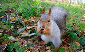 Squirrel — Stockfoto