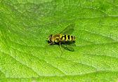 Wild european wasp — Stock Photo