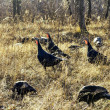 Stock Photo: Wild turkeys in woods
