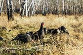 Wild turkeys in the woods — Foto Stock