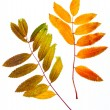 Autumn leaf of mountain ash — Stock Photo #37599115