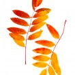 Autumn leaf of mountain ash — Stock Photo #37599145