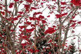 Rowan in the snow — Stock Photo