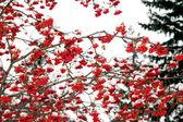 Rowan in the snow — Stock Photo