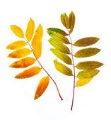 Autumn leaf of mountain ash — Stock Photo