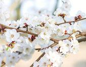 Rama de un árbol en flor — Foto de Stock
