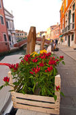 Venice Italy red chili pepper plant — Stock Photo