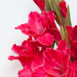 Red gladiolus isolated on white — Stock Photo
