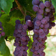 Pink grapes in the vineyard - Stock Photo