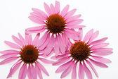 Pink coneflower head — Stock Photo