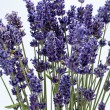 Lavender  isolated on white background — Stockfoto
