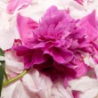 Peony flower — Stock Photo #12739987