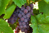 Pink grapes in the vineyard — Stock Photo