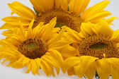 Sunflowers isolated on white background — Stock Photo