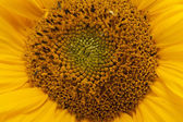 Mitten av solros närbild — Stockfoto