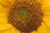 środka słonecznika z bliska — Zdjęcie stockowe