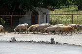 The herd of sheep going with the street — Stock Photo
