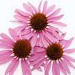 Stock Photo: Pink Mayflower head,