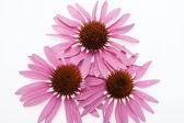 Pink Mayflower head, — Stock Photo