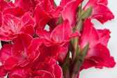 Red gladiolus isolated on white — Stock Photo