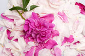 Peony flower — Zdjęcie stockowe
