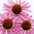 Pink coneflower head, isolated on white background — Stock Photo