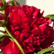 Stock Photo: Bud of peony flower
