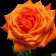 Close up image of single orange rose — Photo