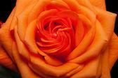Chiudi immagine del singolo arancio rosa — Foto Stock