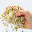 Royalty-Free Stock Photo: Fresh alfalfa sprouts isolated on white background