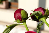 Bud of peony flower — Stock Photo