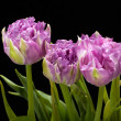 Beautiful   purple tulips crispa isolated over black — Stock Photo