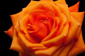 Close up image of single orange rose — Stock Photo