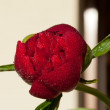 Bud of peony flower after rain — Stock Photo