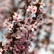The spring in the garden. The flourishing plum tree — Photo