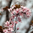 The spring in the garden. The flourishing plum tree — Stock Photo