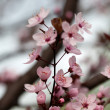 The spring in the garden. The flourishing plum tree — Lizenzfreies Foto