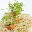 Stock Photo: Fresh AlfalfSprouts and Spring Easter Egg