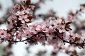 The spring in the garden. The flourishing plum tree — Stock Photo