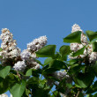 Fragrant lilac bush in the spring garden — Photo