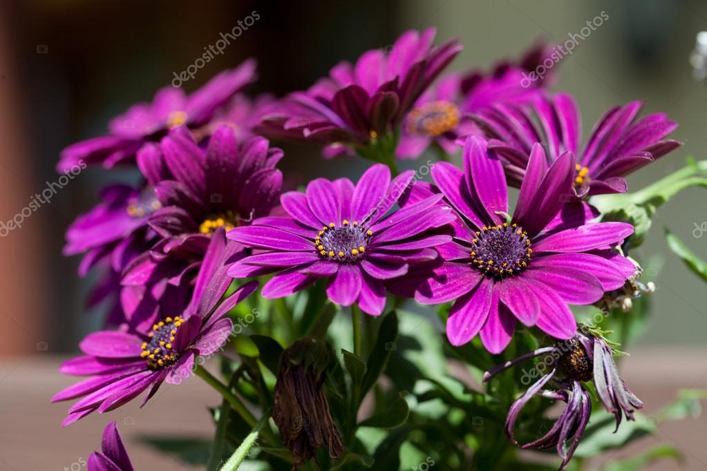 Margarita flor violeta rosa osteosperumum — Foto de stock ...