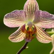 Freaky orchid pink and yellow — Stock Photo