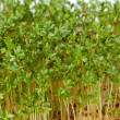 Cress seedlings isolated on white background — Stockfoto